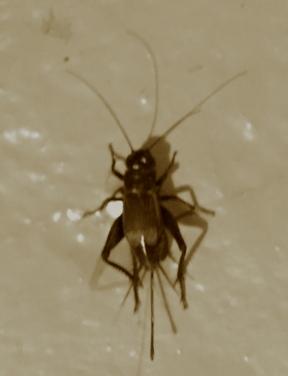 cricketsmall